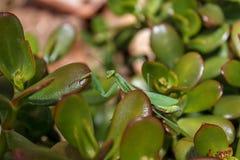 Mantis Mantodea Стоковые Изображения RF