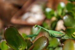 Mantis Mantodea Стоковая Фотография RF