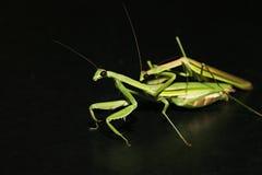 Mantis Mating. Praying Mantis trying to mate. I think Royalty Free Stock Images