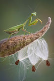 Mantis on Milkweed Royalty Free Stock Photo