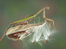 Mantis on milkweed pod Stock Photography