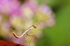 Mantis mix with green and pink color. Nice color with Mantis mix with green and pink color Stock Photography