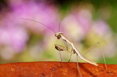 Mantis mix with pink background. It's nice color Mantis photo mix with pink color Royalty Free Stock Image