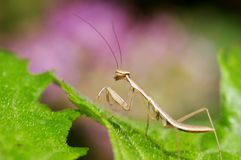 Mantis mix with pink background. It's nice color Mantis photo mix with pink color Stock Photos