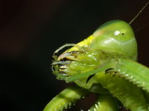 Mantis Mouth Cleaning Foot. Photo of the mouth of a Mantis cleaning its foot Royalty Free Stock Photo