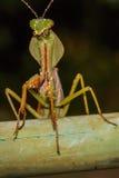 Mantis Royalty Free Stock Image