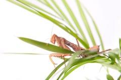 Mantis na planta Fotografia de Stock Royalty Free