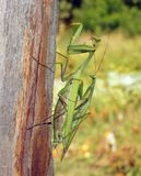 The mantis in the nature Stock Photography