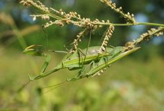The mantis in the nature Stock Photo