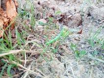 mantis photos stock