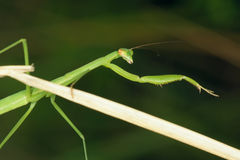 Mantis nymph Stock Image