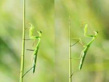 Mantis nymph Royalty Free Stock Photos
