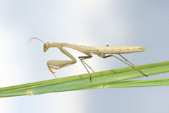 Mantis nymph Royalty Free Stock Image
