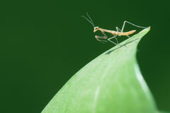 Mantis nymph Royalty Free Stock Photo