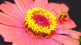 Mantis Ochid Стоковые Фото