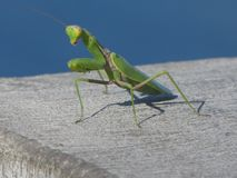 Mantis is one of the most skillful hunters in the world of insects. Ordinary mantis, or religious mantis Latin Mantis religiosa is an insect from the family of Royalty Free Stock Image