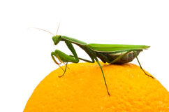 Mantis on orange Royalty Free Stock Images