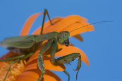 Mantis on Orange Daisy Stock Image