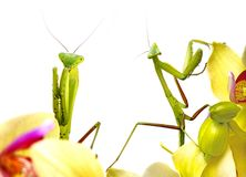 Mantises. Mantis on an orchid close up isolated on white Royalty Free Stock Photos