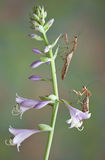 Mantis pair on flowers Stock Images