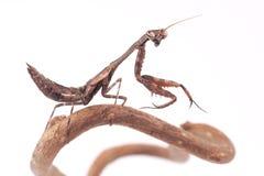 Mantis Parasphendale affinis on a white background Stock Image