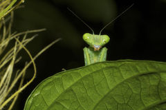 Mantis - Peek-a-boo Royalty Free Stock Image