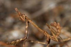 Mantis (pennata de Empusa) Imagens de Stock