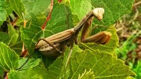 The mantis stock photo