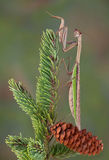 Mantis on pine tree Royalty Free Stock Image