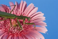 Mantis on Pink Daisy Stock Photo