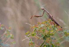 Mantis on the plant. Stock Photography