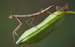 Mantis on pod with hopper Royalty Free Stock Photo