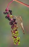 Mantis on poke weed Stock Photo
