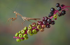 Mantis on poke weed. A dead leaf mantis is pawing the air while sitting on poke weed Royalty Free Stock Image