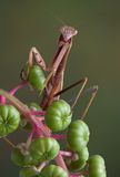 Mantis on pokeweed Royalty Free Stock Images