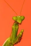 A mantis portrait Stock Photos