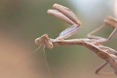A mantis portrait Royalty Free Stock Photo