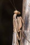 A mantis portrait Stock Images