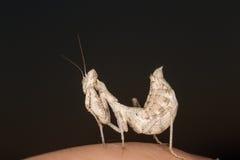 A mantis portrait Stock Photography
