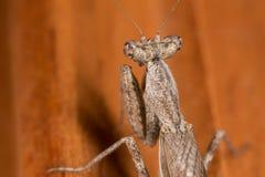A mantis portrait Royalty Free Stock Images