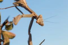 A mantis portrait Royalty Free Stock Photos