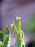 mantis praiyng Стоковое Фото