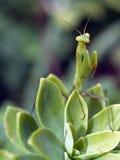 mantis praiyng Стоковое Изображение