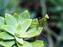 mantis praiyng Стоковые Изображения RF