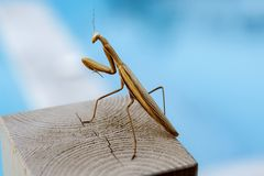 Mantis Praying fotos de stock royalty free