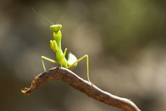 Mantis Praying. Fotos de Stock Royalty Free