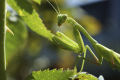 Mantis Praying Imagem de Stock