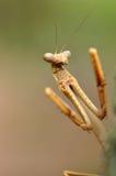 Mantis Praying Imagem de Stock Royalty Free