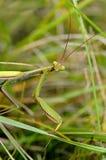 Mantis Praying Fotos de Stock Royalty Free