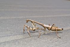 Mantis Praying Foto de Stock Royalty Free